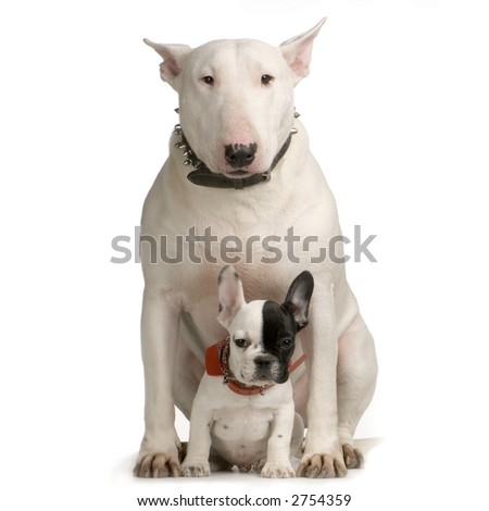 Bull Terrier sitting in front of a white background and looking at the camera - stock photo