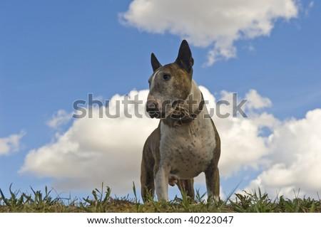 Bull terrier, sky in the back. - stock photo