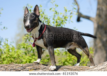 bull terrier standing on a tree - stock photo