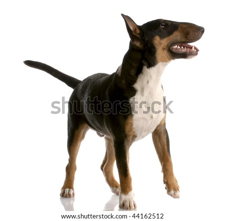 bull terrier - tri color nine month old puppy on white background - stock photo