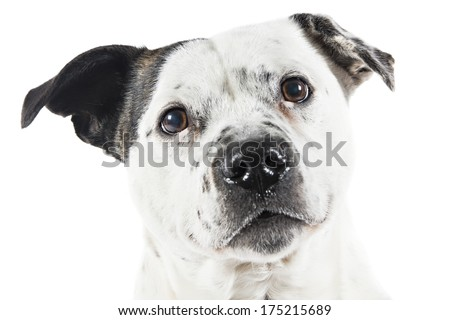 Bull terrier type Dog on white background
