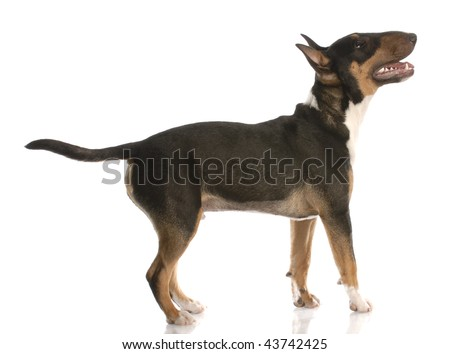 bull terrier with happy expression standing looking up - nine months old - stock photo