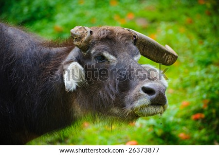 Bull with one horn - stock photo