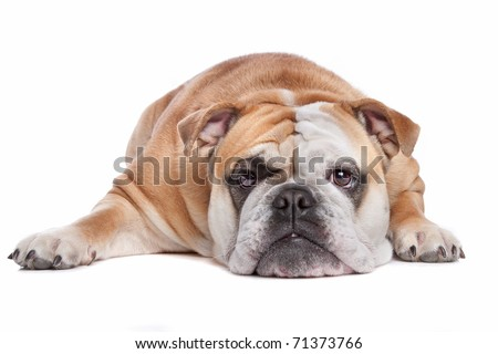 Bulldog - stock photo