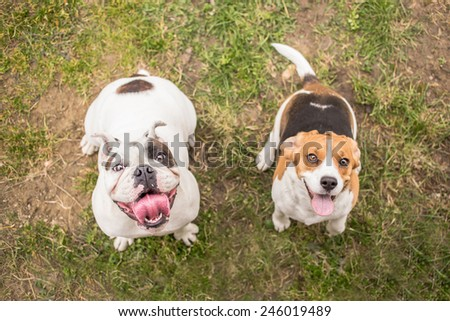 Bulldog and Beagle dog waiting for reward - stock photo