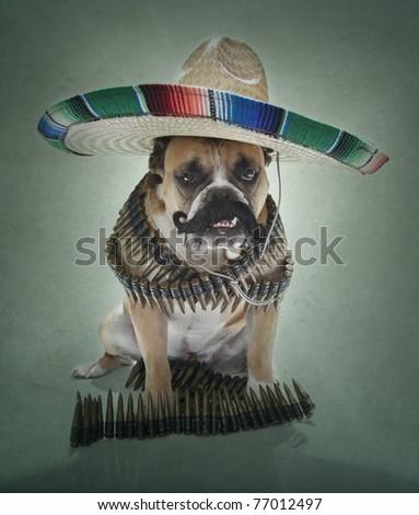 Bulldog Bandito - stock photo