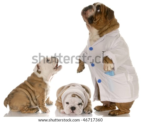 bulldog doctor helping two puppy patience at the vet