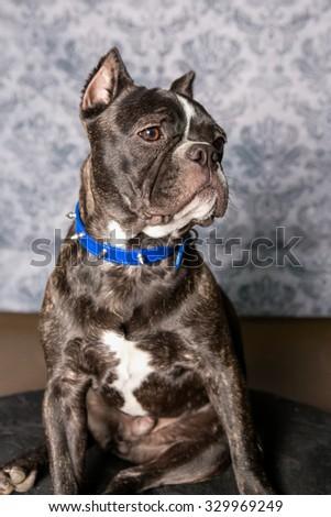 Bulldog Dog headshot instudio - stock photo