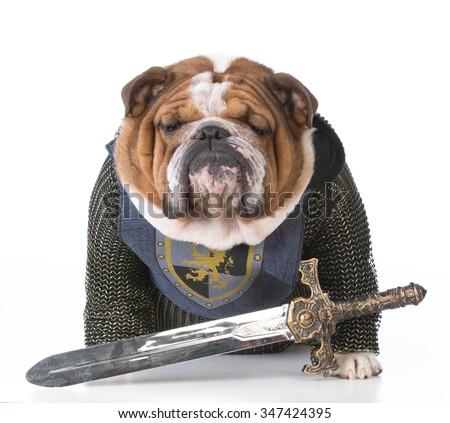 bulldog dressed up like a knight on white background - stock photo