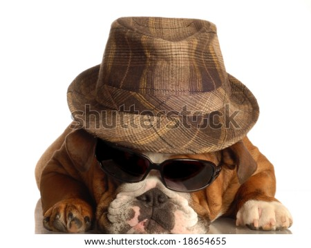 bulldog dressed up like gangster with fedora hat and sunglasses - stock photo