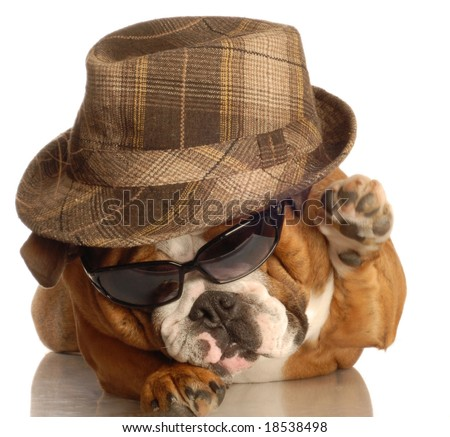 bulldog dressed up like gangster with hat and sunglasses - stock photo