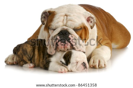 bulldog father and puppy sleeping with reflection on white background - pup is 7 weeks old - stock photo
