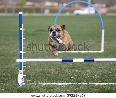 Bulldog going over an agility hurdle at the park - stock photo