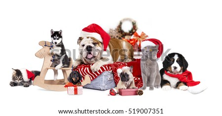 Bulldog in Santa hat and Bernese mountain dog,   french bulldog puppy