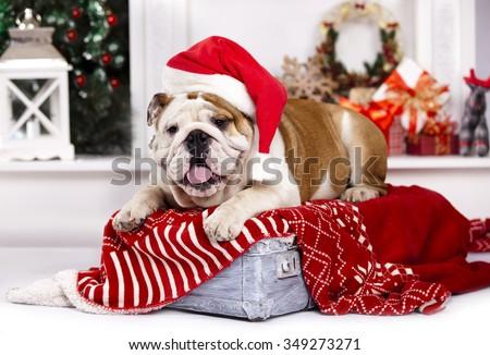 Bulldog in Santa hats - stock photo