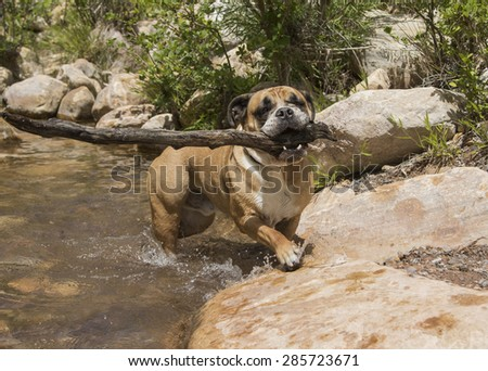 Bulldog in the creek playing with a very large stick - stock photo