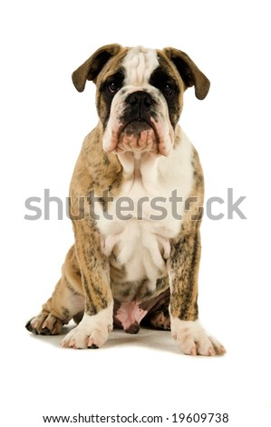 Bulldog isolated on a white background looking at camera sitting