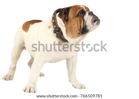 Bulldog, isolated on white background