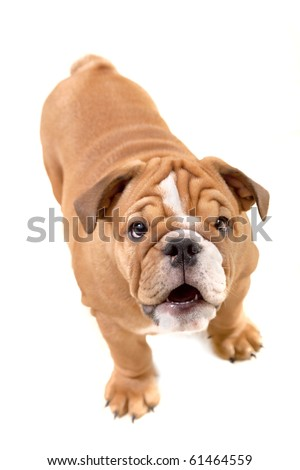 bulldog isolated on white, questioning glance