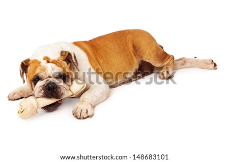 Bulldog laying against a white backdrop with a big rawhide bone in her mouth - stock photo