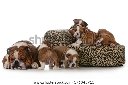 bulldog litter - five english bulldog puppies with their father sleeping beside them isolated on white background - stock photo