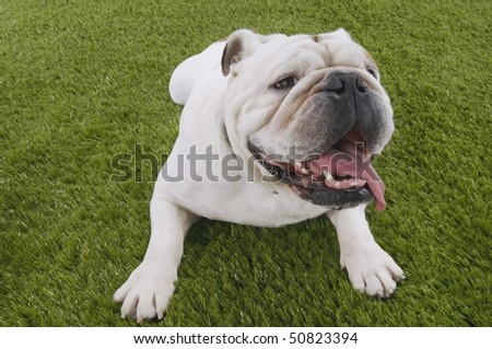 Bulldog lying in grass with head up - stock photo