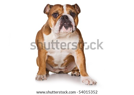 Bulldog on isolated on white