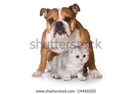 Bulldog on isolated on white - stock photo
