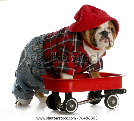 bulldog puppy in a red wagon - stock photo