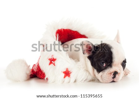 Bulldog puppy into christmas hat