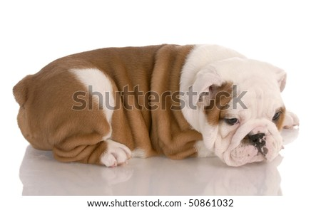 bulldog puppy laying down with reflection on white background - stock photo
