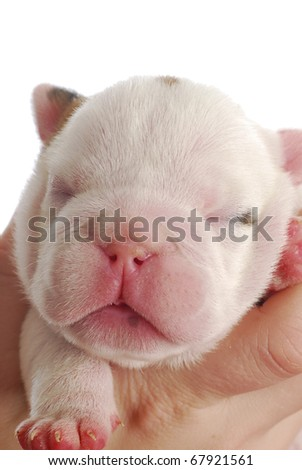 bulldog puppy - one week old on white background