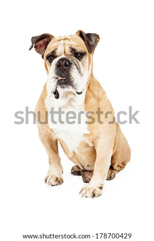 Bulldog sitting against a white backdrop with a serious look on his face - stock photo