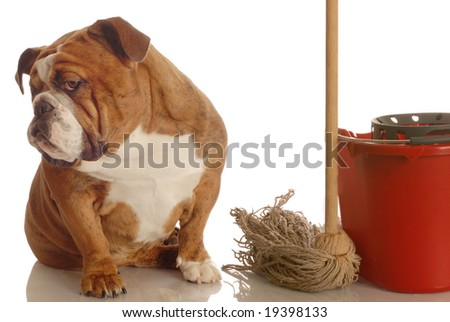 bulldog sitting beside mop and bucket - concept of dog being house broke - stock photo