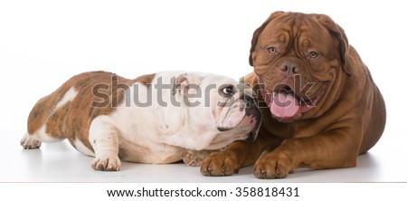 bulldog trying to make friends with dogue de bordeaux on white background - stock photo