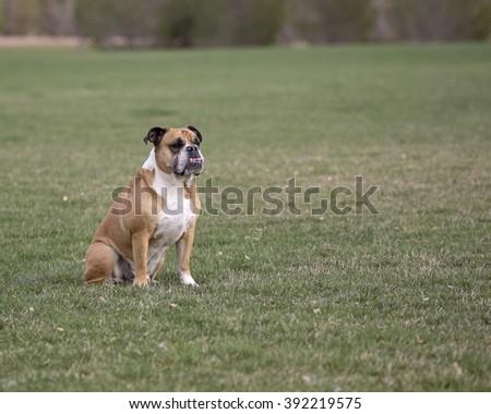 Bulldog waiting in a park field - stock photo