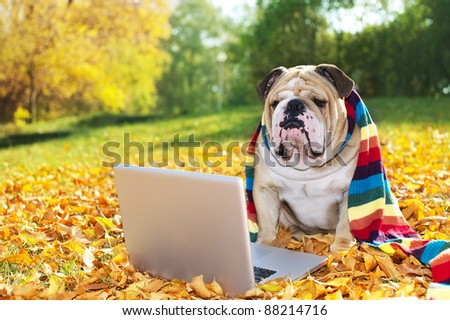 Bulldog with a computer in autumn leaves - stock photo