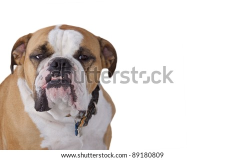 Bulldog with a disgruntled expression on a white background - stock photo