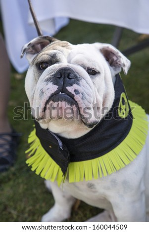 Bulldog with a peace sign cool collar on outside - stock photo