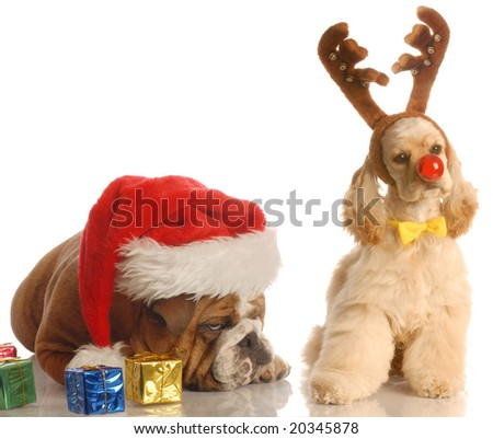bulldog with santa hat and american cocker spaniel dressed as rudolph - stock photo