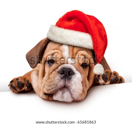 bulldog with Santa Hat on white banner - stock photo