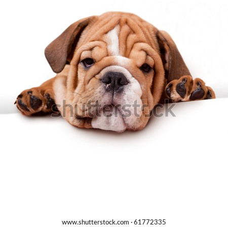 bulldog with white banner - stock photo