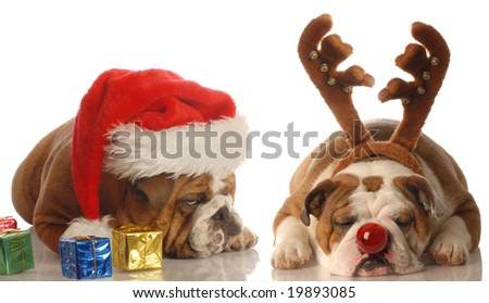 bulldogs dressed up as santa and rudolph - upset santa - stock photo