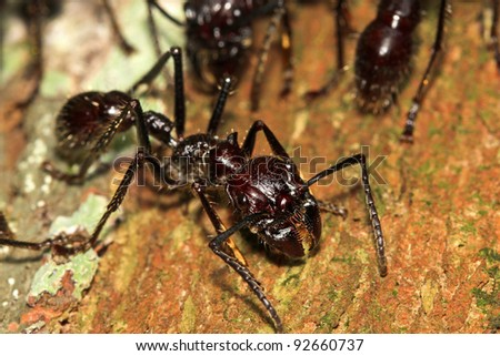 Bullet Ants in the Peruvian Amazon: the most painful and dangerous stinging insect in the WORLD! - stock photo