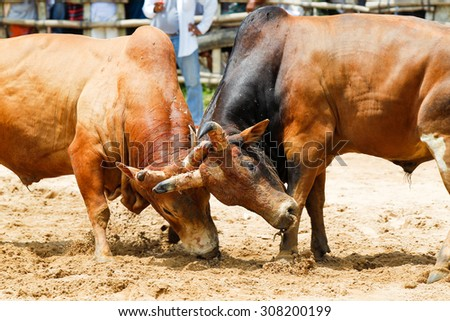 Bullfighting is a traditional game of Thailand.