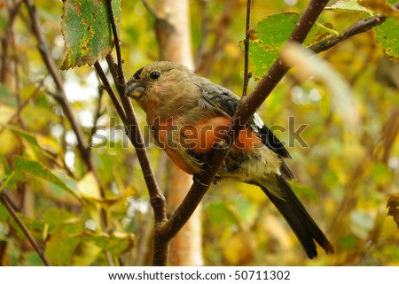Bullfinch on a branch close up - stock photo