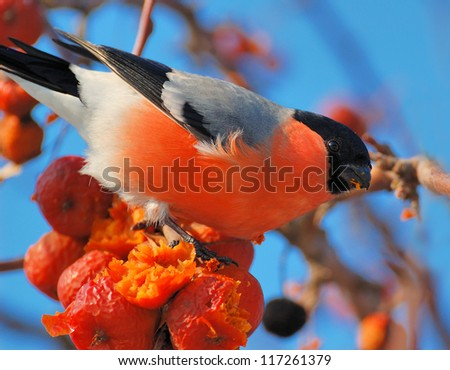 Bullfinch On a sunny day a bird sitting on a branch and bite apples - stock photo