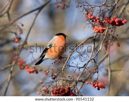 Bullfinch on branch of mountain ash - stock photo