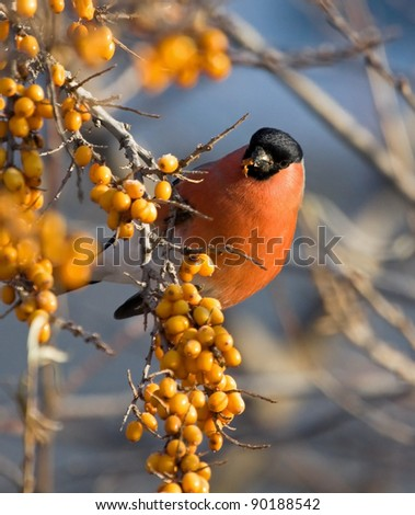 Bullfinch on the branch of Sea-buckthorn - stock photo