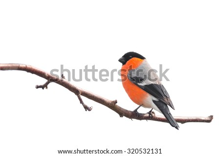 Bullfinch sitting on a branch isolated on white background  - stock photo